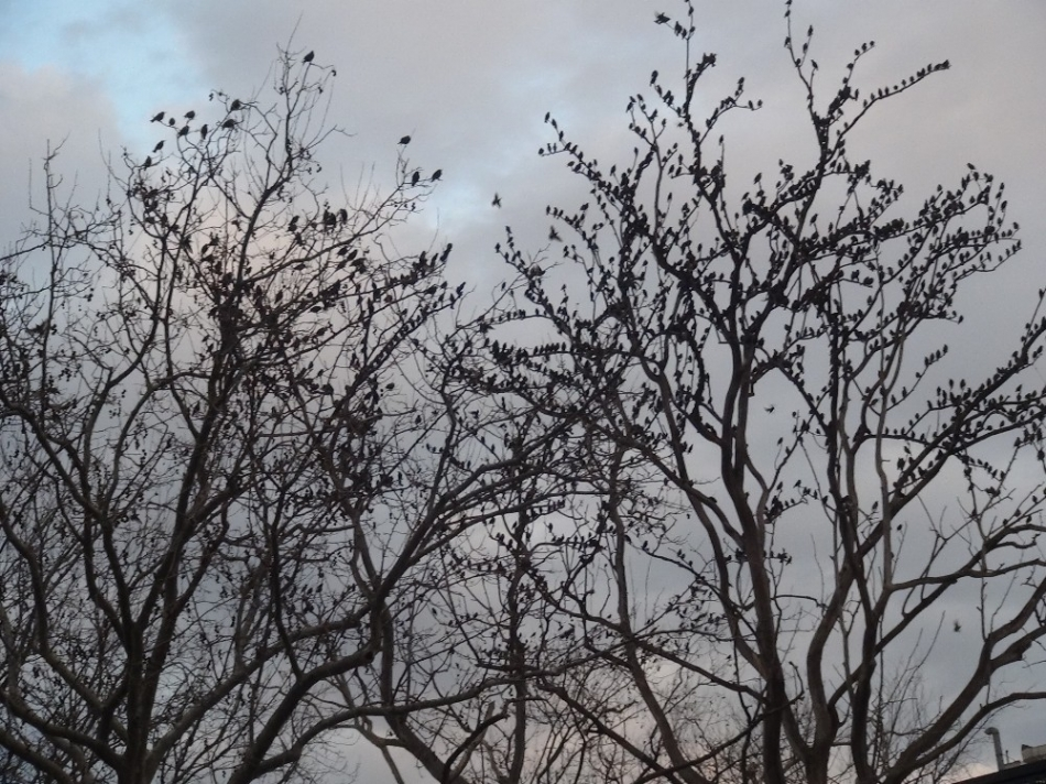Sürüler halinde şekilden şekle giren sığırcık kuşlarının gökyüzündeki dansı, Taksim semalarında ilginç görüntüler oluşturdu.